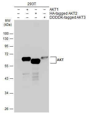 Non-transfected (–) and transfected (+) 293T whole cell extracts (30 μg) were separated by 10% SDS-PAGE, and the membrane was blotted with AKT antibody [N3C2], Internal (GRP513) diluted at 1:1000. The HRP-conjugated anti-rabbit IgG antibody  was used