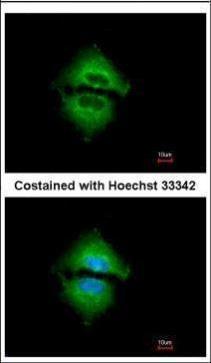 Immunofluorescence analysis of methanol-fixed A549, using Angiopoietin 2(GRP469) antibody at 1:500 dilution.