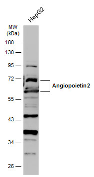 Whole cell extract (30 μg) was separated by 10% SDS-PAGE, and the membrane was blotted with Angiopoietin 2 antibody (GRP469) diluted at 1:1000. The HRP-conjugated anti-rabbit IgG antibody  was used to detect the primary antibody.