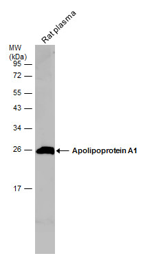 Rat tissue extract (50 μg) was separated by 12% SDS-PAGE, and the membrane was blotted with Apolipoprotein A1 antibody (GRP503) diluted at 1:500. The HRP-conjugated anti-rabbit IgG antibody  was used to detect the primary antibody.