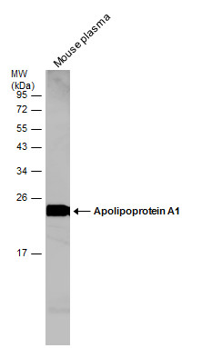 Mouse tissue extract (50 μg) was separated by 12% SDS-PAGE, and the membrane was blotted with Apolipoprotein A1 antibody (GRP503) diluted at 1:500. The HRP-conjugated anti-rabbit IgG antibody  was used to detect the primary antibody.