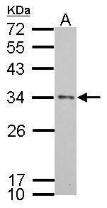 Apolipoprotein E antibody [C2C3], C-term detects APOE protein by western blot analysis.A. 30 μg HepG2 whole cell lysate/extract12% SDS-PAGEApolipoprotein E antibody [C2C3], C-term (GRP546) dilution: 1:1000 The HRP-conjugated anti-rabbit IgG antibody  w