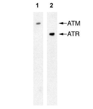 Detection of ATM (Anti-ATM 2C1, GRP536) or ATR (Anti-ATR 2B5) by western blot in human Raji whole cell extract.  The HRP-conjugated anti-mouse IgG antibody  was used to detect the primary antibody.