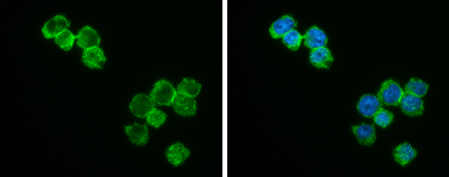 Bcl-2 antibody [N1N2], N-term detects Bcl-2 protein at cytoplasm and nucleus by immunofluorescent analysis.Sample: THP-1 cells were fixed in 4% paraformaldehyde at RT for 15 min.Green: Bcl-2 stained by Bcl-2 antibody [N1N2], N-term (GRP455) diluted at 1:5