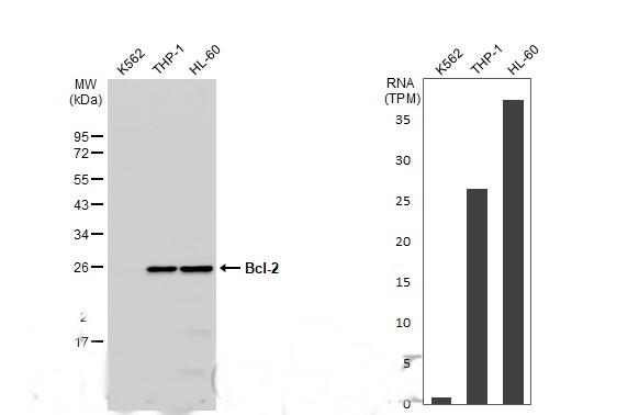 Various whole cell extracts (30 μg) were separated by 12% SDS-PAGE, and the membrane was blotted with Bcl-2 antibody [N1N2], N-term (GRP455) diluted at 1:1000. The HRP-conjugated anti-rabbit IgG antibody  was used to detect the primary antibody.Corresp