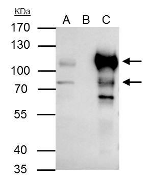BCL6 antibody immunoprecipitates BCL6 protein in IP experiments. IP Sample: Raji whole cell lysate/extract A : 30 ?g whole cell lysate/extract of BCL6 protein expressing Raji cells B : Control with 3 ?g of pre-immune rabbit IgG C : Immunoprecipitation of