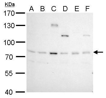 BCL6 antibody [N2C1], Internal detects BCL6 protein by western blot analysis.A. 30 μg Neuro2A whole cell lysate/extract B. 30 μg GL261 whole cell lysate/extract C. 30 μg C8D30 whole cell lysate/extract D. 30 μg NIH-3T3 whole cell lysate/extrac