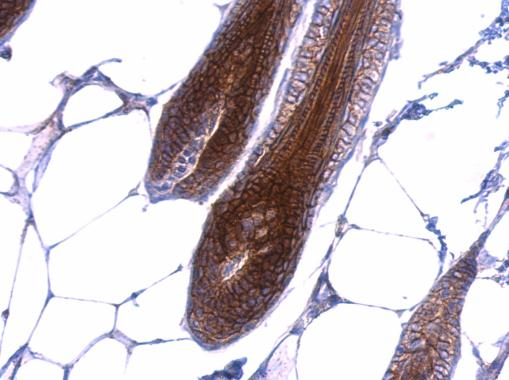 beta Catenin antibody [N1N2-2], N-term detects beta Catenin protein at membrane on mouse skin by immunohistochemical analysis. Sample: Paraffin-embedded mouse skin. beta Catenin antibody [N1N2-2], N-term (GRP474) dilution: 1:500.