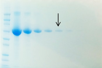 Decreasing amounts of BSA were run on a 10% SDS-PAGE gel and stained with Der Blaue Jonas for 10 minutes. The arrow denotes the 100 ng BSA lane.