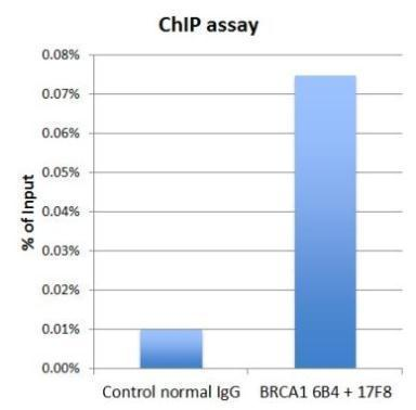 BRCA1 antibody 6B4 (GRP537) and BRCA1 antibody 17F8 (GRP537) were used for ChIP assay. The 6B4 and 17F8 mixture (3 microgram each), or normal mouse IgG (6 microgram) were incubated with HeLa chromatin extract (100 umicrogram each) in the ChIP assay. Enric