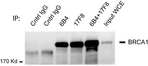 BRCA1 antibody 6B4 (GRP537) and BRCA1 antibody 17F8 (GRP537) was used for IP-WB assay.  6B4 alone (4 microgram), 17F8 alone (4 microgram), 6B4 plus 17F8 (2 microgram each), and mouse control normal IgG were used in an immunoprecipitation assay with MCF7 c