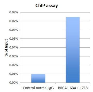 BRCA1 antibody 6B4 (GRP538) and BRCA1 antibody 17F8 (GRP538) were used for ChIP assay. The 6B4 and 17F8 mixture (3 microgram each), or normal mouse IgG (6 microgram) were incubated with HeLa chromatin extract (100 microgram each) in the ChIP assay. Enrich