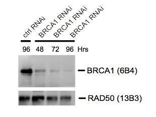 BRCA1 antibody [6B4] (GRP538) was used at 1:1000 dilution for western blot assay of lysates from cells transfected with control or BRCA1-specific siRNA. Lysates were prepared at the indicated times following transfection. RAD50 antibody [13B3] (GRP538) wa