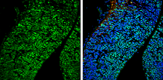 Brn2 antibody detects Brn2 protein expression at nucleus by immunohistochemical analysis.Sample: Frozen sectioned E13.5 Rat brain. Green: Brn2 protein stained by Brn2 antibody (GRP596) diluted at 1:250.Red: beta Tubulin 3/ TUJ1, a mature neuron marker, st