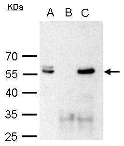 Brn2 antibody immunoprecipitates Brn2 protein in IP experiments. IP Sample: 1000 μg 293T whole cell lysate/extract  A. 50 ?g 293T whole cell lysate/extract B. Control with 2 ?g of preimmune rabbit IgG C. Immunoprecipitation of Brn2 protein by 2 ?g of B