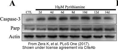 The WB analysis of Caspase 3 antibody was published by Zera K and colleagues in the journal PLoS One in 2017.PMID: 29045486