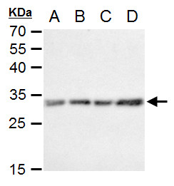 Caspase 3 antibody detects Caspase 3 protein by western blot analysis.A. 30 μg C8D30 whole cell extractB. 30 μg NIH-3T3 whole cell extractC. 30 μg Raw264.7 whole cell extractD. 30 μg C2C12 whole cell extract12% SDS-PAGECaspase 3 antibody (GRP4