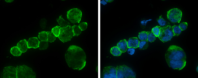 CD45 antibody detects CD45 protein at cell membrane by immunofluorescent analysis.Sample: THP-1 cells were fixed in 4% paraformaldehyde at RT for 15 min.Green: CD45 protein stained by CD45 antibody (GRP601) diluted at 1:500.Blue: Hoechst 33342 staining.
