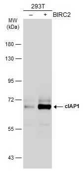 Non-transfected (–) and transfected (+) 293T whole cell extracts (30 μg) were separated by 7.5% SDS-PAGE, and the membrane was blotted with cIAP1 antibody (GRP496) diluted at 1:1000. The HRP-conjugated anti-rabbit IgG antibody  was used to detect the