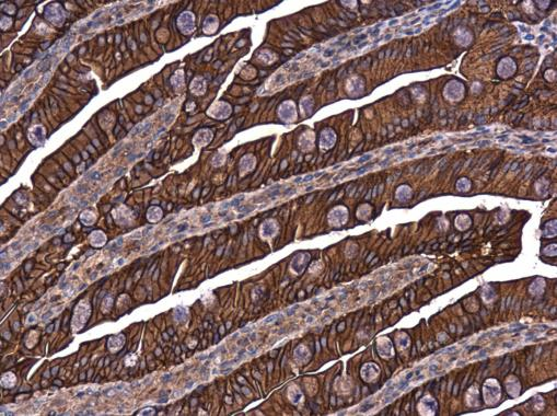 E-Cadherin antibody detects E-Cadherin protein at cell membrane in rat intestine by immunohistochemical analysis. Sample: Paraffin-embedded rat intestine. E-Cadherin antibody (GRP459) diluted at 1:500.