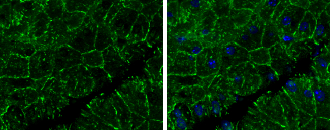 E-Cadherin antibody detects E-Cadherin protein at cell membrane in mouse pancreas by immunohistochemical analysis. Sample: Paraffin-embedded mouse pancreas. E-Cadherin antibody (GRP459) diluted at 1:400.