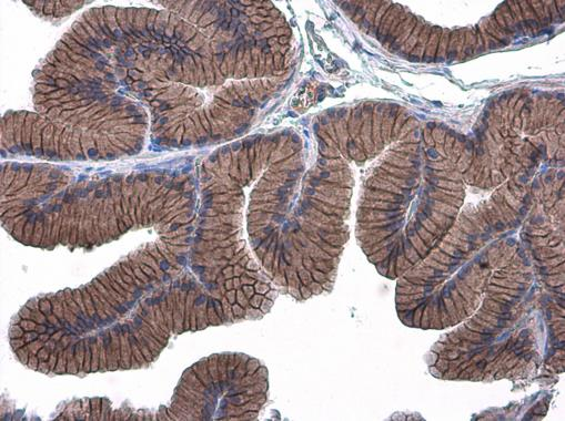E-Cadherin antibody detects E-Cadherin protein at cell membrane in rat prostate by immunohistochemical analysis. Sample: Paraffin-embedded rat prostate. E-Cadherin antibody (GRP459) diluted at 1:500.