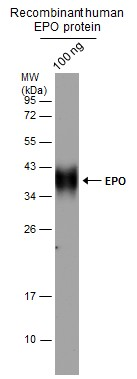 Recombinant human EPO protein (with glycosylation) expressed in CHO cells (100 ng)  was separated by 12% SDS-PAGE, and the membrane was blotted with EPO antibody  (GRP468) diluted at 1:10000.