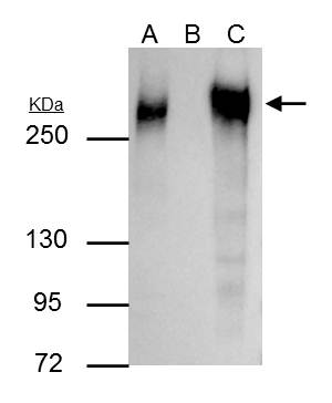 Fibronectin antibody [N1N2], N-term immunoprecipitates Fibronectin protein in IP experiments. IP Sample: HeLa whole cell lysate/extract A : 30 ?g whole cell lysate/extract of Fibronectin protein expressing HeLa cells B : Control with 3 ?g of pre-immune ra
