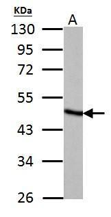 Fumarate hydratase antibody detects Fumarate hydratase protein by western blot analysis.A.50 μg rat liver lysate/extract 10% SDS-PAGEFumarate hydratase antibody (GRP495) dilution: 1:5000 The HRP-conjugated anti-rabbit IgG antibody  was used to detect t