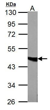 Fumarate hydratase antibody detects FH protein by western blot analysis.  A. 50 μg mouse liver lysate/extract  7.5% SDS-PAGE  Fumarate hydratase antibody (GRP495) dilution: 1:1000 The HRP-conjugated anti-rabbit IgG antibody  was used to detect the prim