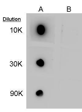 Dot blot analysis of 100ng of GABA-conjugated BSA, using GABA Antibody (GRP607) at 1:10000, 1:30000, and 1:90000. A: GABA-conjugated BSA. B: Normal BSA