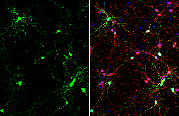GABA antibody detects GABA at GABAergic neurons by immunofluorescent analysis.Sample: DIV9 rat E18 primary cortical neuron cells were fixed in 4% paraformaldehyde at RT for 15 min.Green: GABA stained by GABA antibody (GRP607) diluted at 1:500.Red: beta Tu