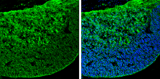 GABA antibody detects GABA by immunohistochemical analysis.Sample: Frozen sectioned E13.5 Rat brain. Green: GABA stained by GABA antibody (GRP607) diluted at 1:250.Blue: Fluoroshield with DAPI.