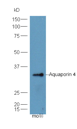 IHC-P of GRP279