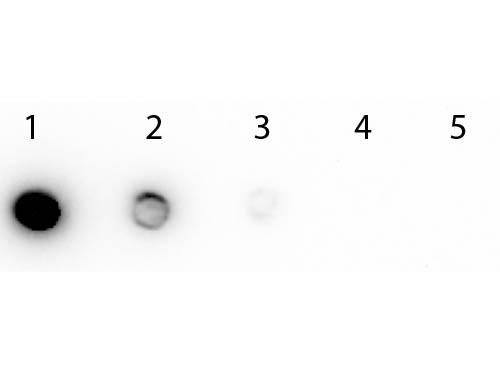 Biotin Peroxidase Conjugated - Western Blot