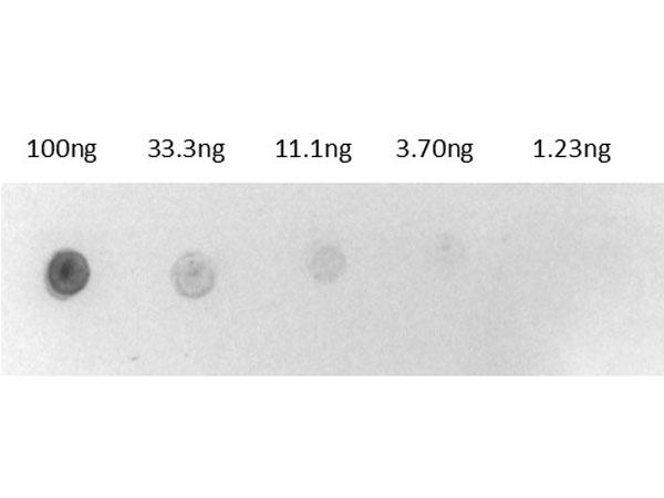 Dot Blot of Biotin Alkaline Phosphatase Conjugate