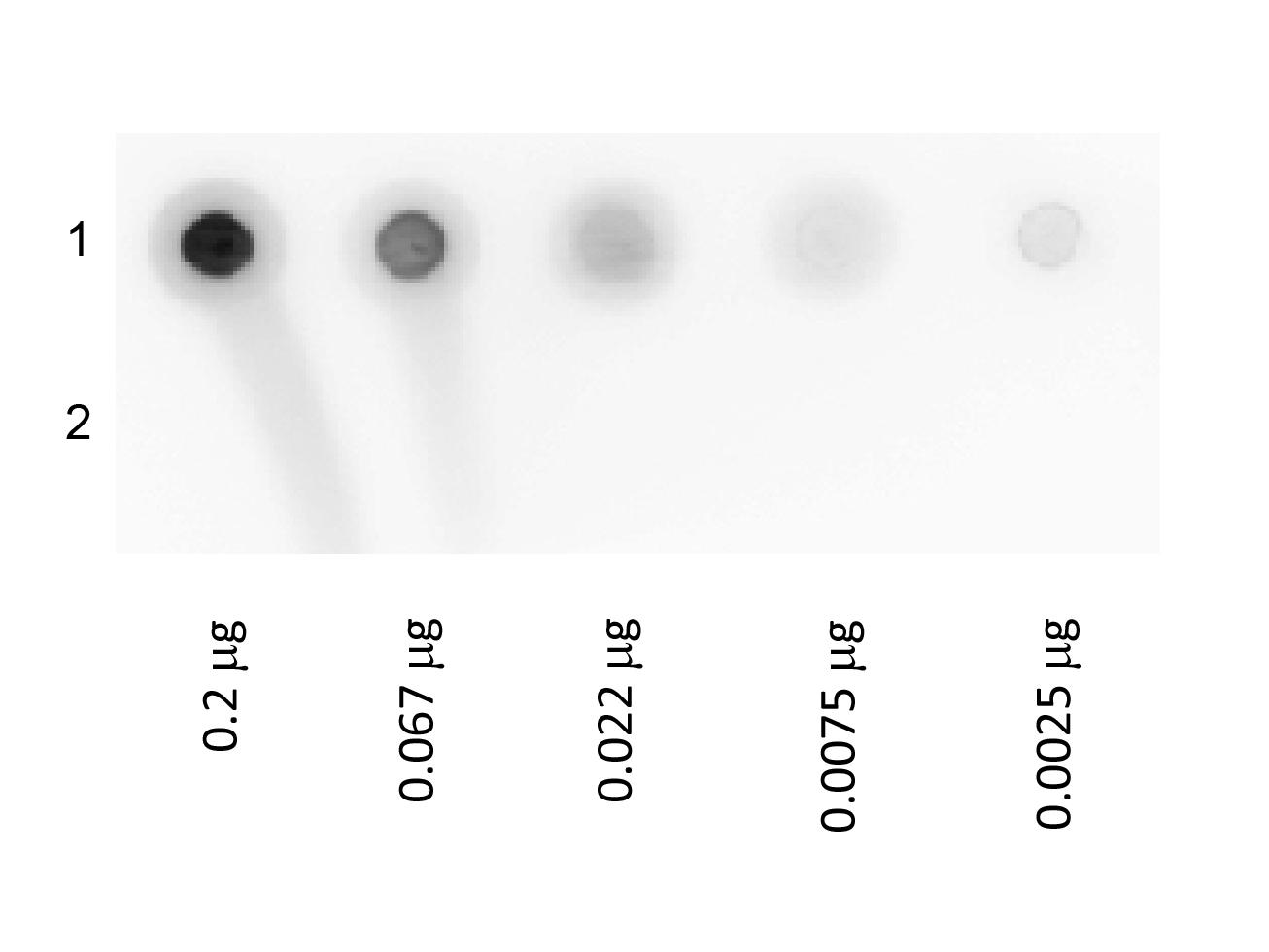 Biotin Glucose Oxidase Conjugated Dot Blot