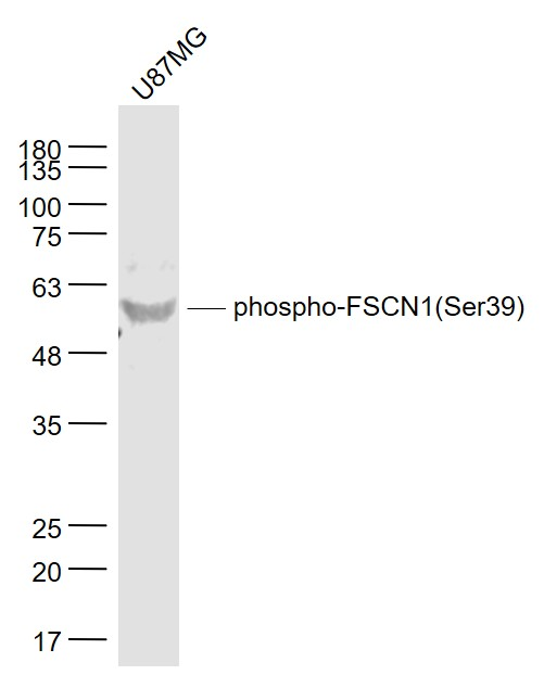 IHC-P of GRP304