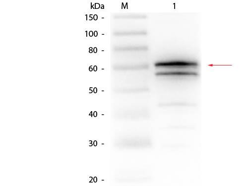 Luciferase (Firefly) Antibody - Western Blot