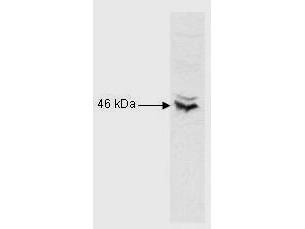 Anti-CREB Antibody - Western Blot