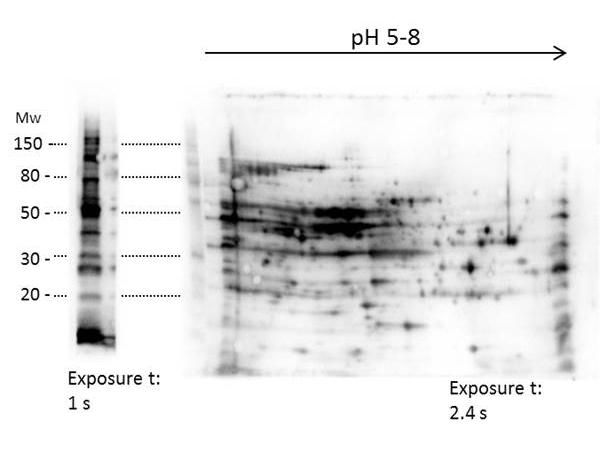 2D Western Blot of anti-E.coli Host Cell Protein antibody.