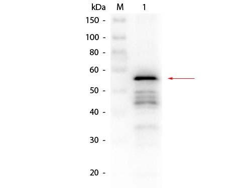 Aldehyde Dehydrogenase Antibody - Western Blot