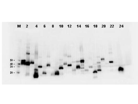 Western Blot-Monoclonal Antibody to detect FLAG™ conjugated proteins