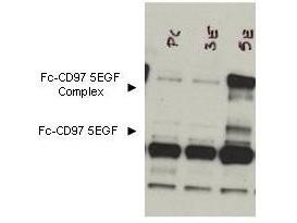 Anti-CD97 Antibody - Western Blot