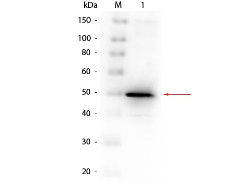 Alkaline Phosphatase (E. Coli) Antibody - Western Blot