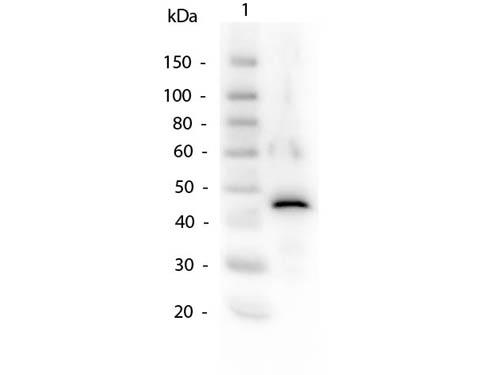 Alcohol Dehydrogenase Antibody - Western Blot