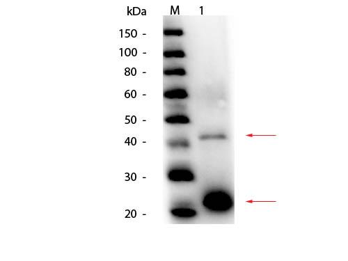 Acid Phosphatase (Potato) Antibody - Western Blot