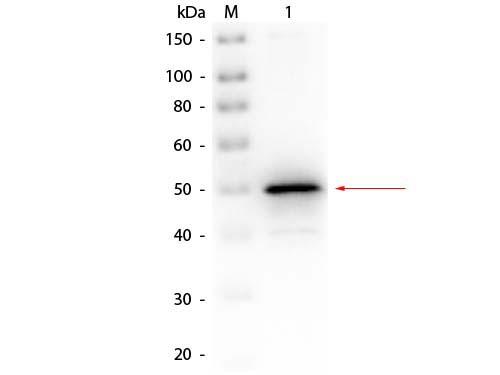 Alkaline Phosphatase (E. Coli) Antibody Biotin Conjugated - Western Blot