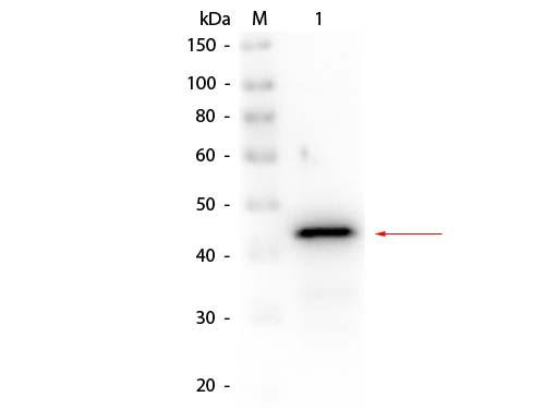 Alcohol Dehydrogenase (Yeast) Antibody Biotin Conjugated - Western Blot
