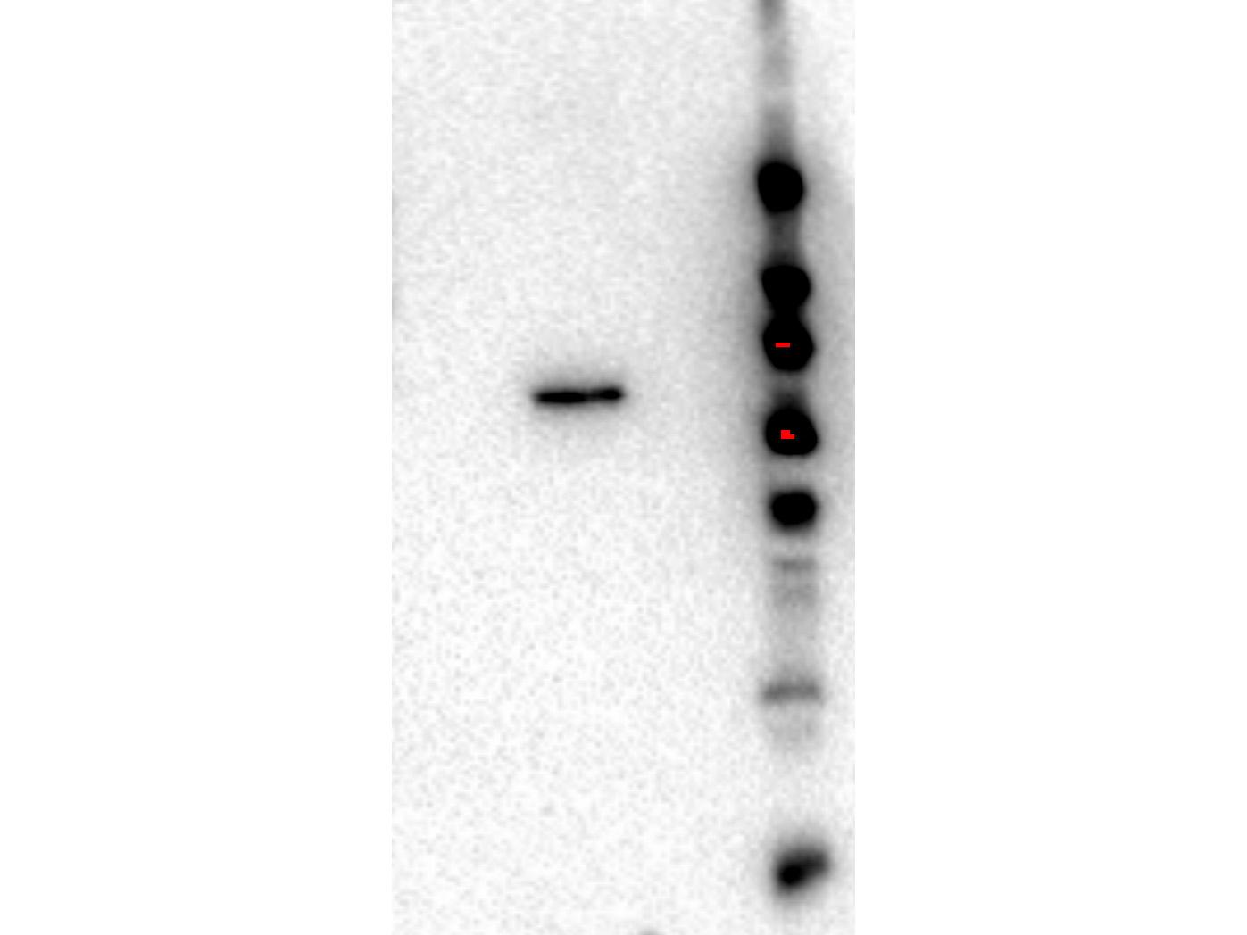 Western Blot - Rat monoclonal anti-AKT2